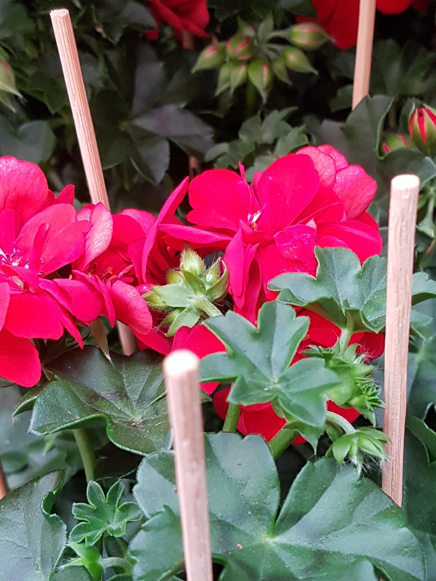 zomerbloeiers te bestellen bij De bloemenloods
